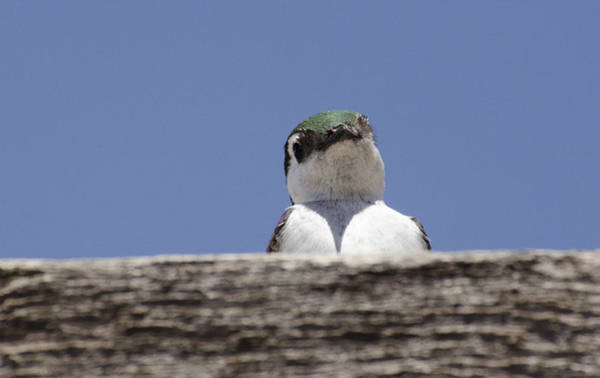 Violet-green Swallow Photograph - Head Tilt by Annie White
