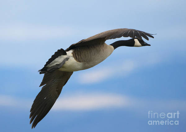 Canadian Goose Photograph - Heading North by Mike Dawson