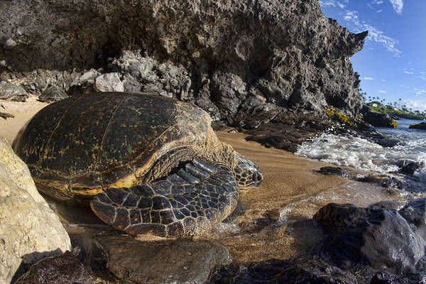 Turtle Photograph - Heading Out To Sea  by James Roemmling