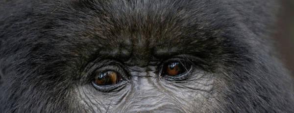 Rwanda Photograph - Headshot Of Mountain Gorilla Gorilla by Panoramic Images