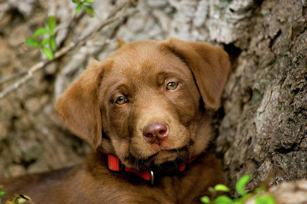 Canine Photograph - Headshot Of Purebred Chocolate Labrador by Piperanne Worcester