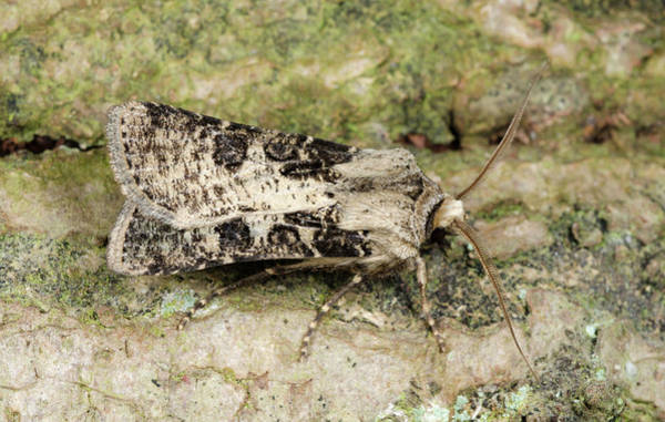 Entomological Photograph - Heart And Club Moth by Nigel Downer