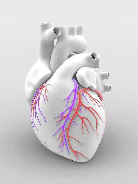 Anatomical Wall Art - Photograph - Heart And Coronary Arteries by Alfred Pasieka