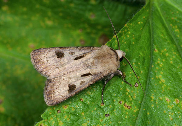 Entomological Photograph - Heart And Dart Moth by Nigel Downer