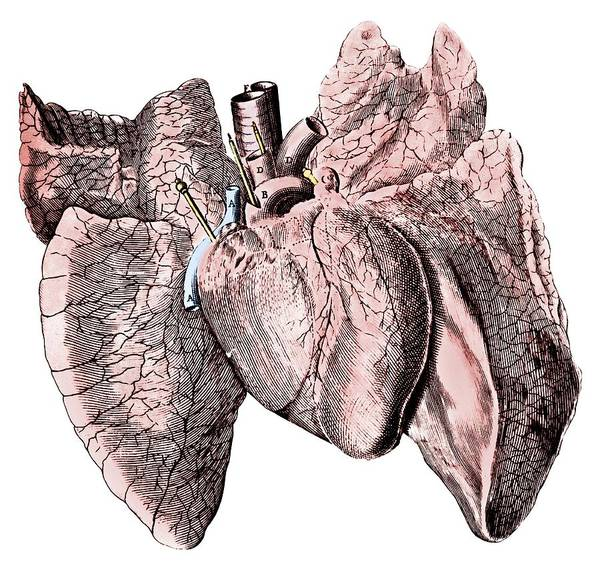 Wall Art - Photograph - Heart And Lung Anatomy by Science Photo Library