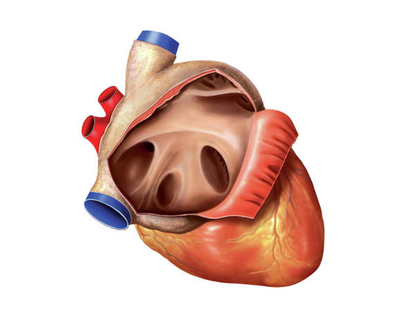 Biological Photograph - Heart by Asklepios Medical Atlas