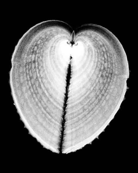 Wall Art - Photograph - Heart Cockle by William A Conklin
