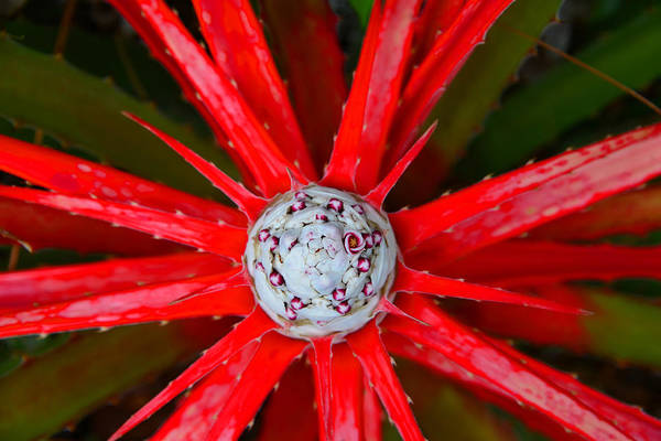 Bromelia Photograph - Heart Of Fire by David Lee Thompson