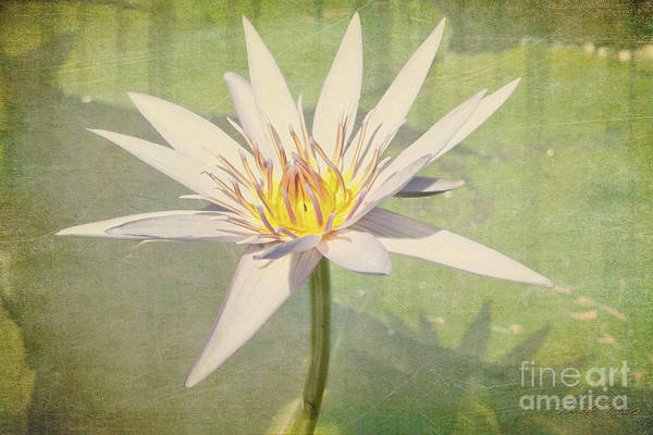 Nymphaea Lotus Photograph - Heart Of Gold by Linda Lees