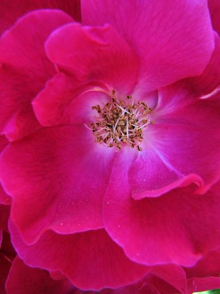 Photograph - Heart Of The Rose 1 by Lora Fisher