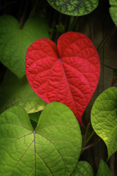 Leaf Photograph - Heart To Take by Philippe Sainte-laudy Photography