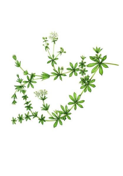 Wall Art - Photograph - Heath Bedstraw (galium Saxatile) In Flower by Lizzie Harper/science Photo Library