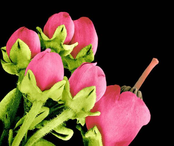 Carpel Photograph - Heath Flowers by Susumu Nishinaga