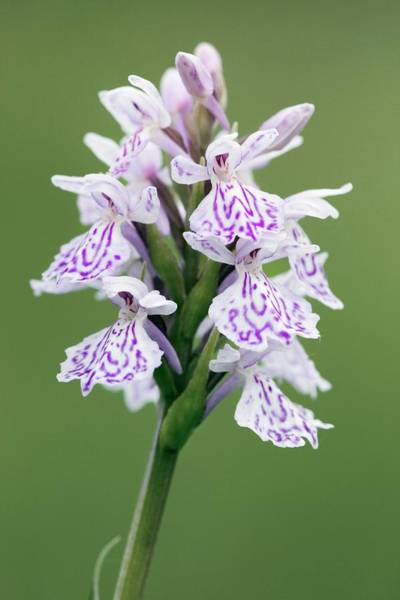 Wall Art - Photograph - Heath Spotted Orchid by John Devries/science Photo Library