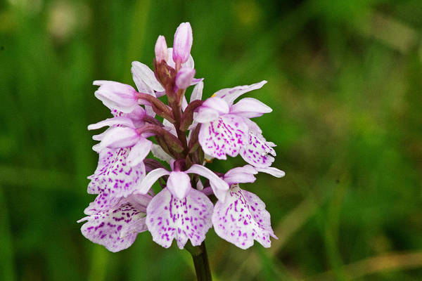 Heath Spotted Orchid Art Print