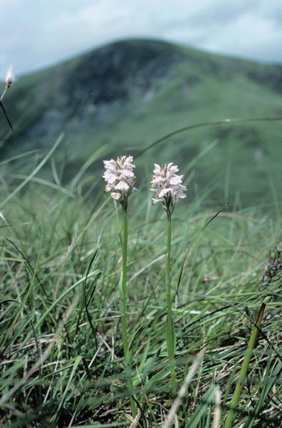 Heath Photograph - Heath Spotted Orchids by Duncan Shaw/science Photo Library