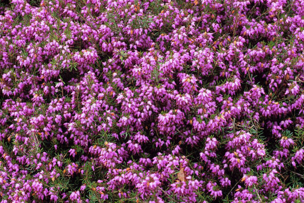 Rosy Photograph - Heather 'rosy Morn' Flowers by Science Photo Library