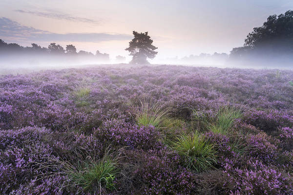 Dicot Wall Art - Photograph - Heather With Fog Overijssel Netherlands by Ronald Kamphius