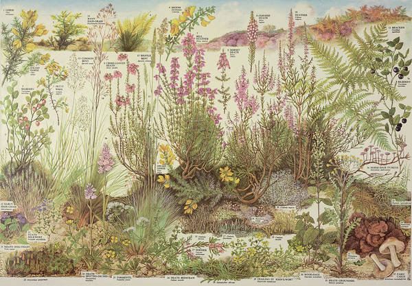 Wall Art - Photograph - Heathland Plants by Natural History Museum, London/science Photo Library