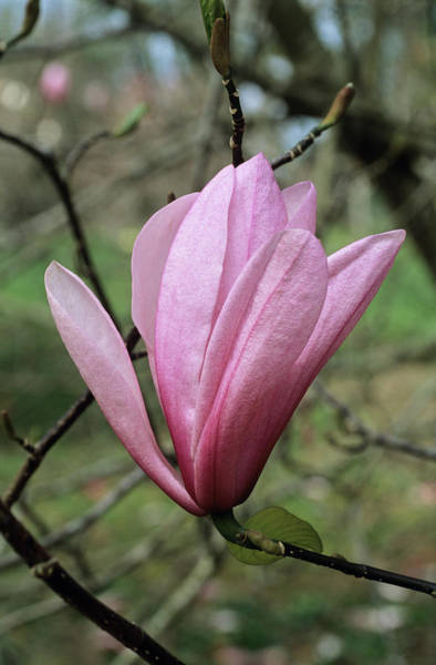 Scent Photograph - Heaven Scent Magnolia Flower by Adrian Thomas/science Photo Library