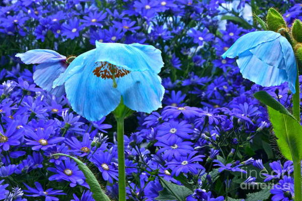 Photograph - Heavenly Blue On Blue And Purple by Byron Varvarigos
