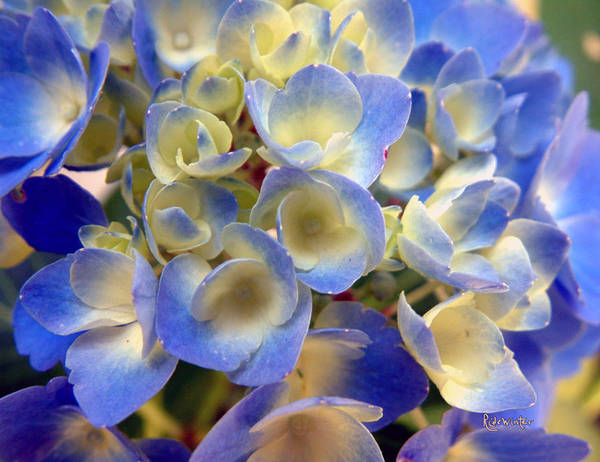 Photograph - Heavenly Blues by RC DeWinter