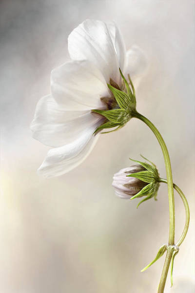 Bud Photograph - Heavenly Cosmos by Mandy Disher