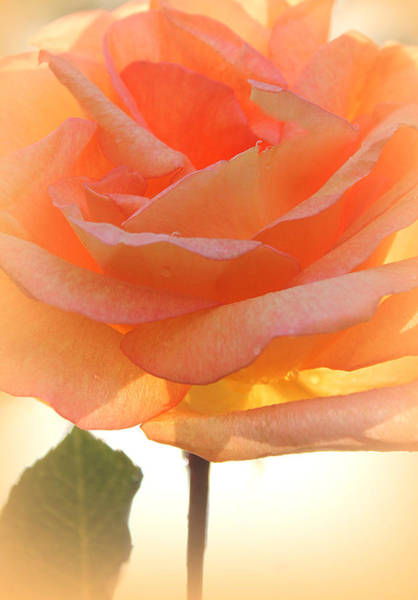 Wall Art - Photograph - Heaven's Peach Rose by The Art Of Marilyn Ridoutt-Greene