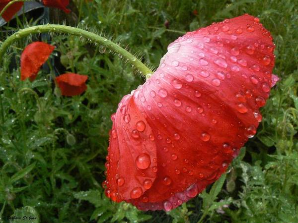 Photograph - Heavy Head Poppy by Barbara St Jean