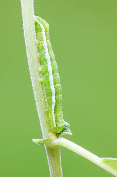 Hebrews Photograph - Hebrew Character Caterpillar by Heath Mcdonald