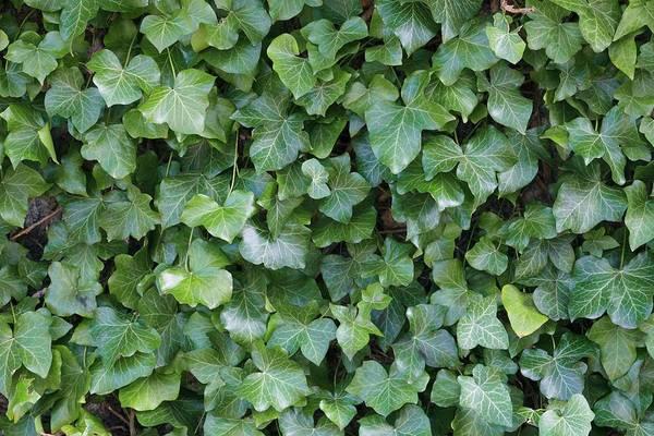 Climbing Plants Photograph - Hedera Hibernica by Geoff Kidd/science Photo Library
