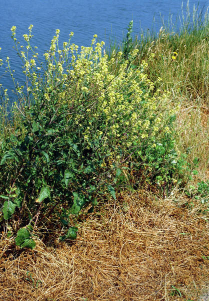 Mustard Photograph - Hedge Mustard (sisymbrium Officinale) by Maurice Nimmo/science Photo Library