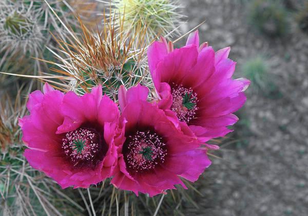 Wall Art - Photograph - Hedgehog Cactus (echinocereus by John Barger