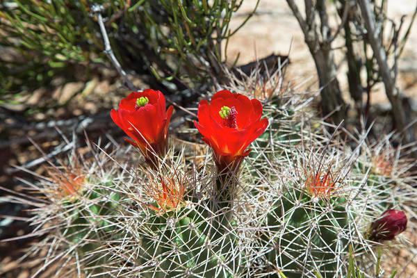Adapted Photograph - Hedgehog Cactus (echinocereus Sp.) by Jim West