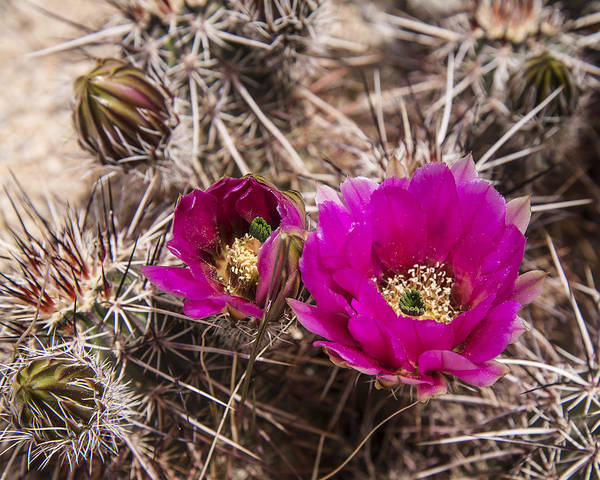 Photograph - Hedgehog Cactus by Lee Kirchhevel