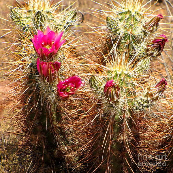 Photograph - Hedgehog Cactus by Marilyn Smith