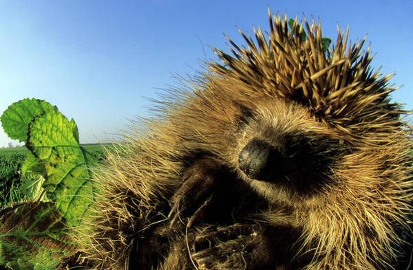 Hedgehog Photograph - Hedgehog by Dr. John Brackenbury/science Photo Library