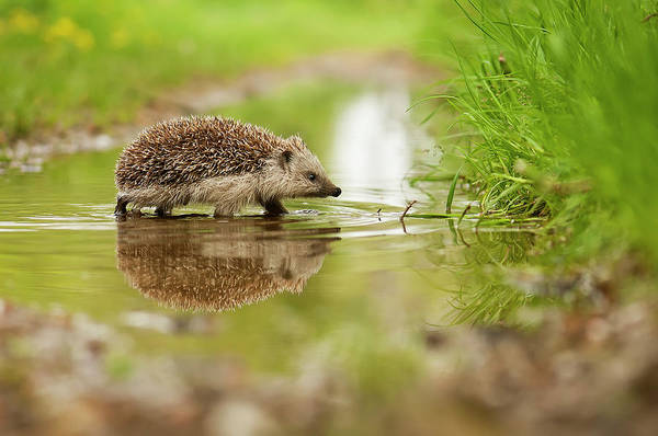 Wild Grass Photograph - Hedgehog by Michal Candrak