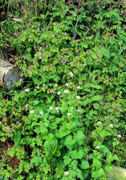 Biennial Photograph - Hedgerow Plants by Maurice Nimmo/science Photo Library