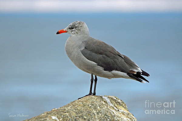 Photograph - Heermann's Gull In Profile by Susan Wiedmann