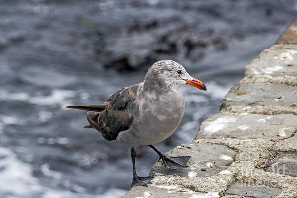 Photograph - Heermann's Gull by Kate Brown
