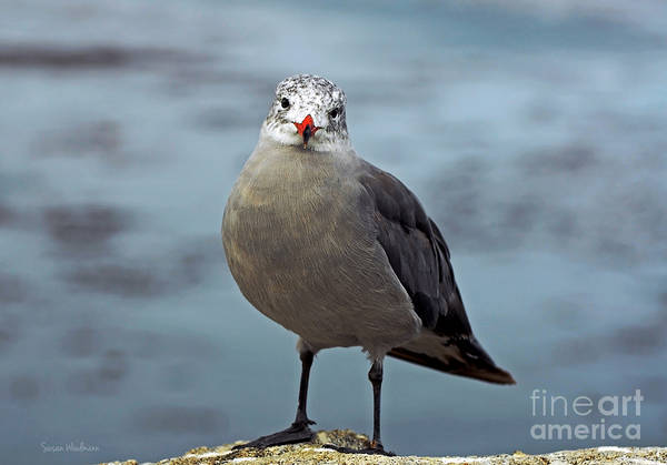 Photograph - Heermann's Gull Looking At Camera by Susan Wiedmann