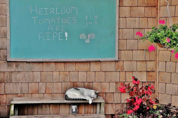 Photograph - Heirloom Tomatoes Are Ripe - The Cat by Kim Bemis