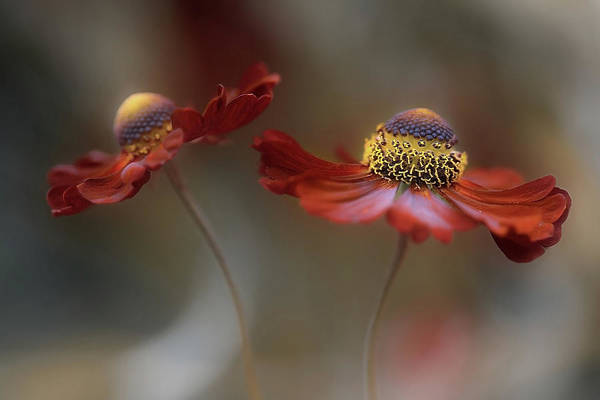 Yellow Flower Photograph - Helenium Dance by Mandy Disher