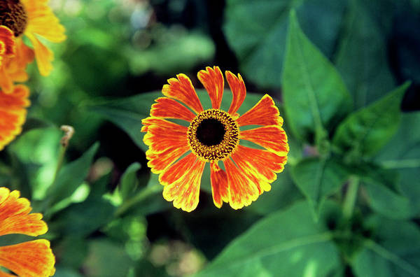 Perennial Photograph - Helenium Flower by A C Seinet/science Photo Library