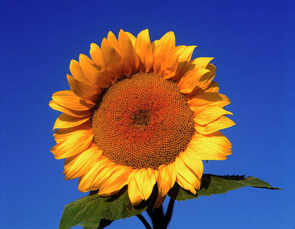 Helianthus Annuus Photograph - Helianthus Annuus. by David Henderson/science Photo Library