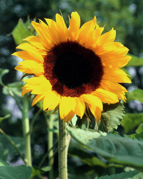 Helianthus Annuus Photograph - Helianthus Annuus Full Sun. by The Picture Store/science Photo Library