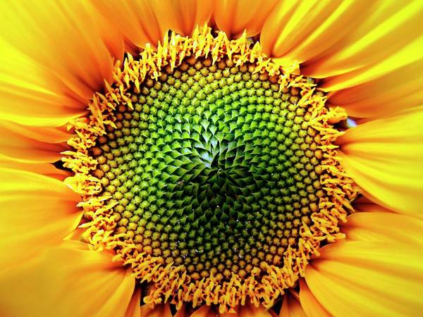 Helianthus Annuus Photograph - Helianthus Sunflower by Ian Gowland/science Photo Library