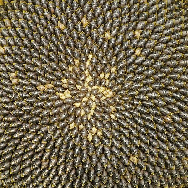 Angiosperms Wall Art - Photograph - Helianthus Sunflower Seeds Close Up by Mark Sykes
