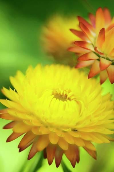 Wall Art - Photograph - Helichrysum Breacteatum by Maria Mosolova/science Photo Library